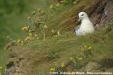 Noordse Stormvogel / Northern Fulmar