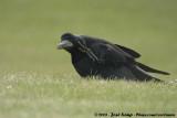 Eurasian RookCorvus frugilegus frugilegus