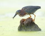 Green Heron with Minnow