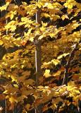 Tutu of Yellow Leaves
