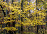 Yellow Terraced Leaves