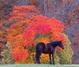 Horse IFO Fall Tree