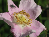 Wild rose with bug