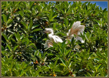 The screaming egrets
