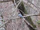The closest I could get to the kingfisher