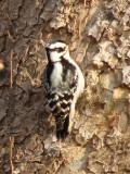 Downy Woodpecker_1?