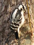 Downy Woodpecker_2?