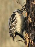 Downy Woodpecker_3?
