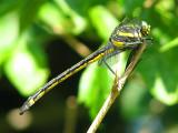 Black-shouldered Spinyleg