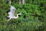 Heron on Hills Pond - photo by Neil Rapoza