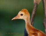 Chick   Closeup 02.jpg