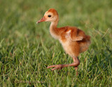 Chick   On The Move 01.jpg