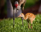Adult Feeding Chick0619.jpg