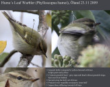 Hume´s Warbler (Phylloscopus humei)