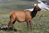 Elk; cow