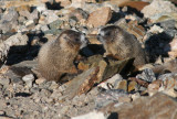 Young Yellow-bellied Marmots