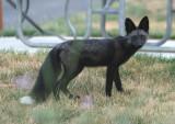 Red Fox; black variant