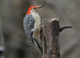 Woodpeckers and Other Tree Clingers