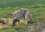 Coyote with California Ground Squirrel