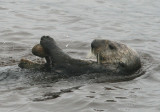 Sea Otter cracking a clam