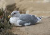 Western X Glaucous-winged Gull Hybrid