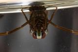 Order Hemiptera - True Bugs