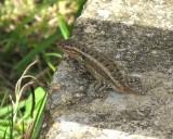 Rose-bellied Lizard (Sceloporus variabilis)