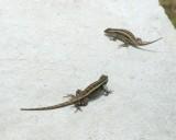 Rose-bellied Lizards (Sceloporus variabilis)