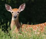 deer 35
