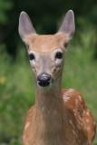 deer 37