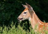 deer 38