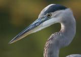 great blue heron 382