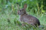 rabbit 15