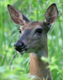 deer 32