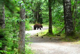 Brown Bear on TrailJune 26, 2008