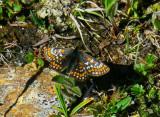 Lappnätfjäril (Euphydryas iduna)