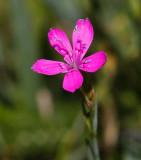 Ängsnejlika (Dianthus deltoides)