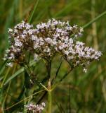 Vänderot (Valeriana officinalis)