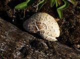 Syllsvamp (Lentínus lepídeus)