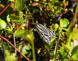 Alpigelkottspinnare (Grammia quenseli)