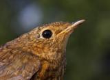 Robin (Erithacus rubecula), 1K