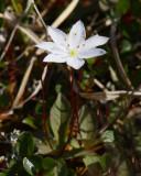 Skogsstjärna (Trientalis europaea)