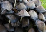 Grå bläcksvamp (Coprinus atramentarius)