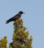 Lewis´s Woodpecker (Melanerpes lewis)