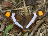 Band-celled Sister (Adelpha fessonia)