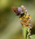Lantana Scrub-Hairstreak (Strymon bazochii)