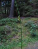 Trådtåg (Juncus filiformis)