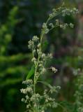 Svenskmålla (Chenopodium suecicum)