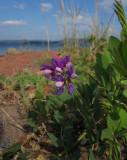 Strandvial (Lathyrus japonicus)