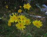 Styvfibbla (Hieracium L. sect. Tridentata)